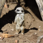 Child Psychotherapy Case: Meerkat Boy