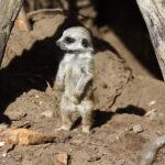 Child Psychotherapy Case: Meerkat Boy
